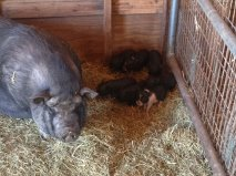 May 15 Pig litter