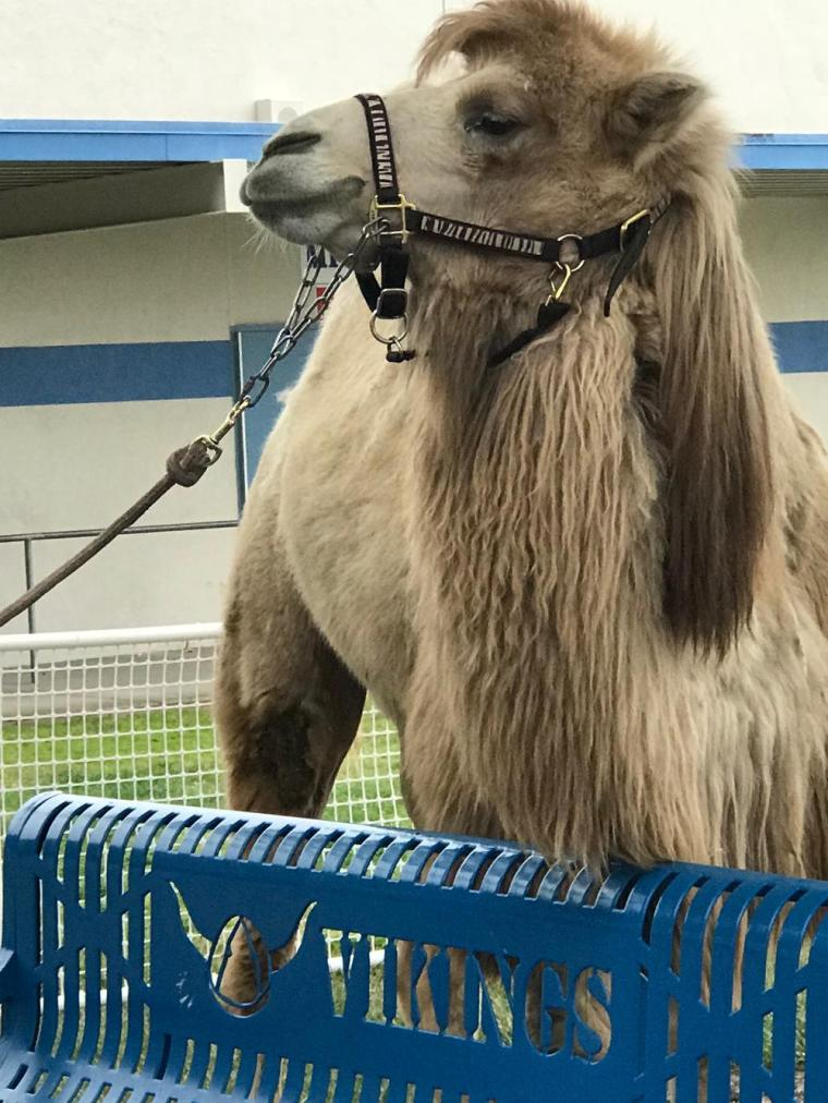 Bactrian_Camel_Harry